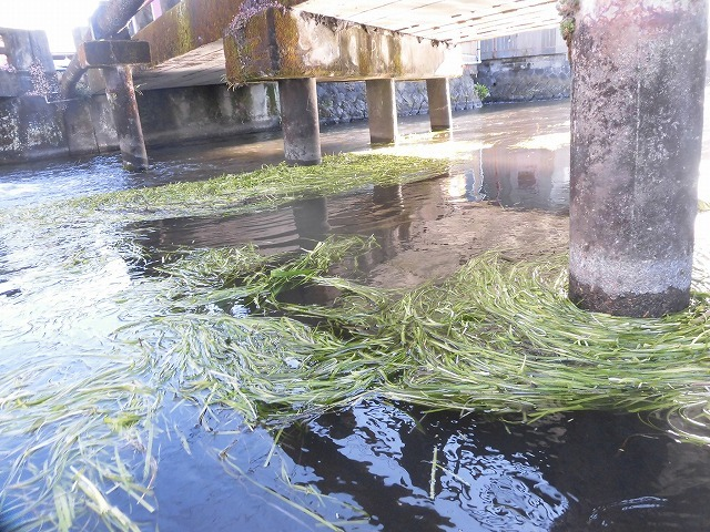 「オオバン君、ありがとう!」 今年も飛来して水草を食べてくれ 今年最初の田宿川の川そうじ_f0141310_07451478.jpg