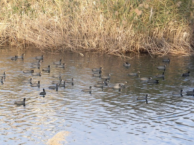「オオバン君、ありがとう!」 今年も飛来して水草を食べてくれ 今年最初の田宿川の川そうじ_f0141310_07453473.jpg