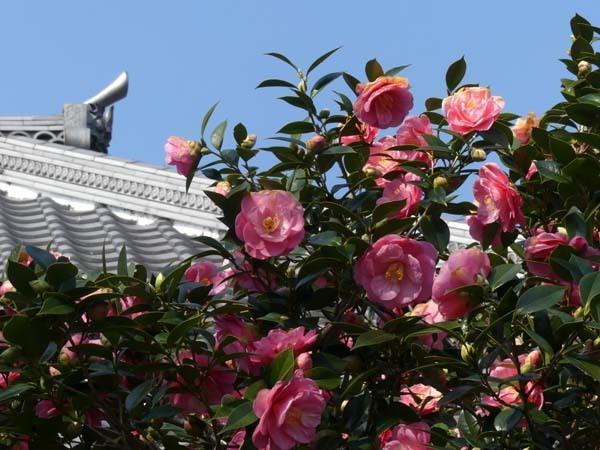 五色散り椿 椿寺(地蔵院)_e0048413_21362024.jpg