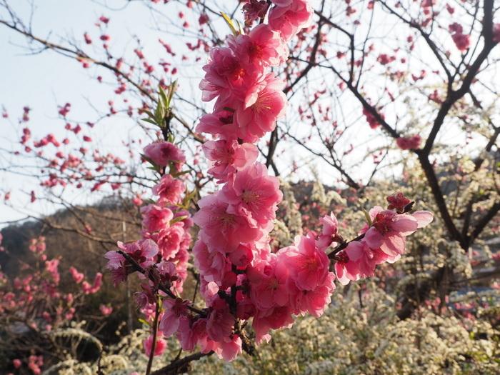 桃の花と雪柳_c0116915_23182960.jpg