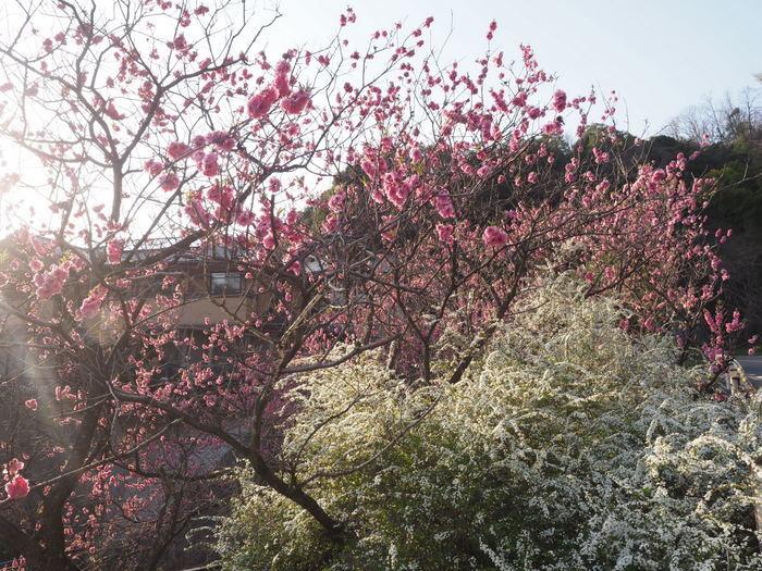 桃の花と雪柳_c0116915_23184860.jpg