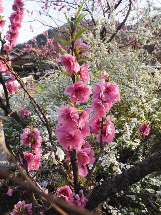 桃の花と雪柳_c0116915_23191584.jpg
