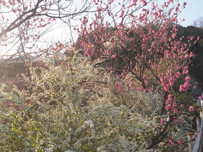 桃の花と雪柳_c0116915_23193083.jpg
