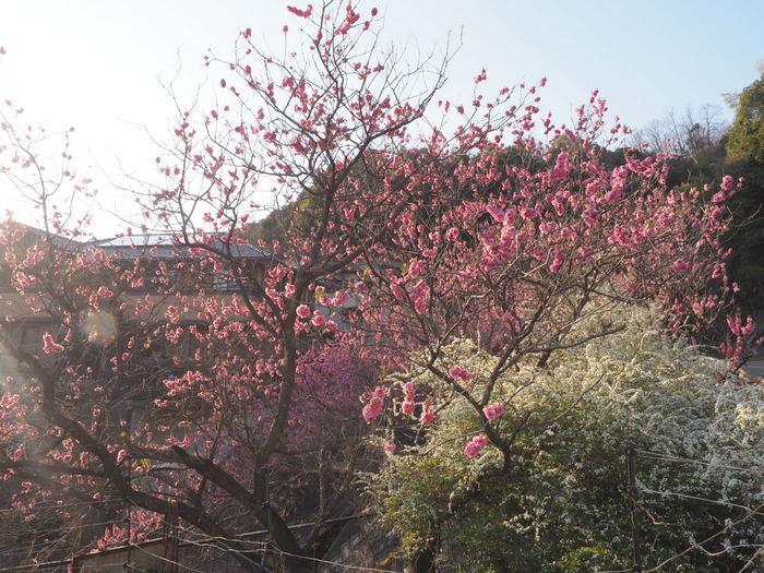 桃の花と雪柳_c0116915_23193907.jpg