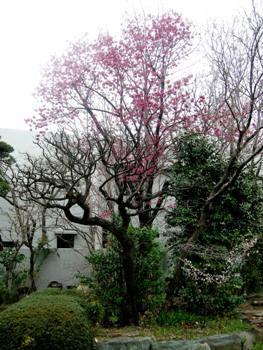 梅の古木を伐る_d0101522_09371690.jpg