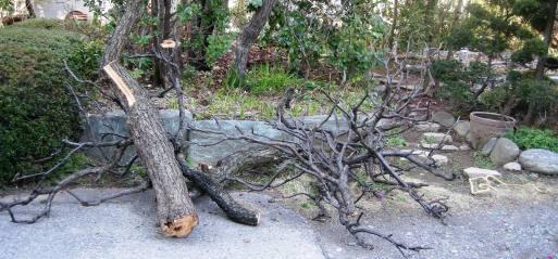 梅の古木を伐る_d0101522_11045161.jpg