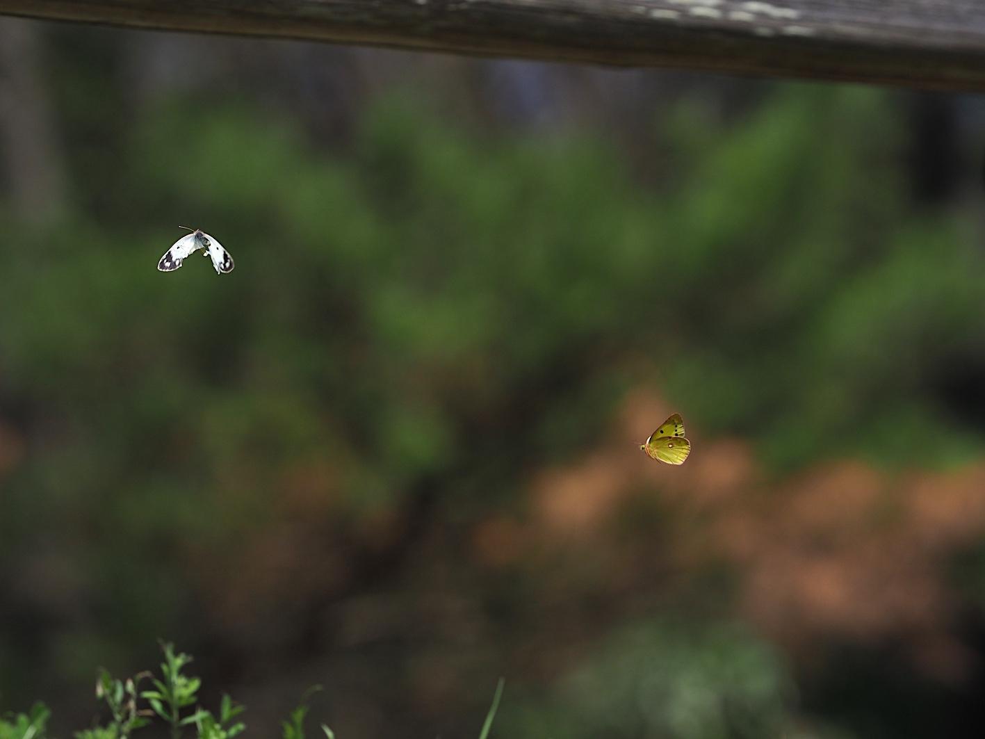 越冬明けの蝶と新生蝶(2020年3月15日)_d0303129_03100692.jpg