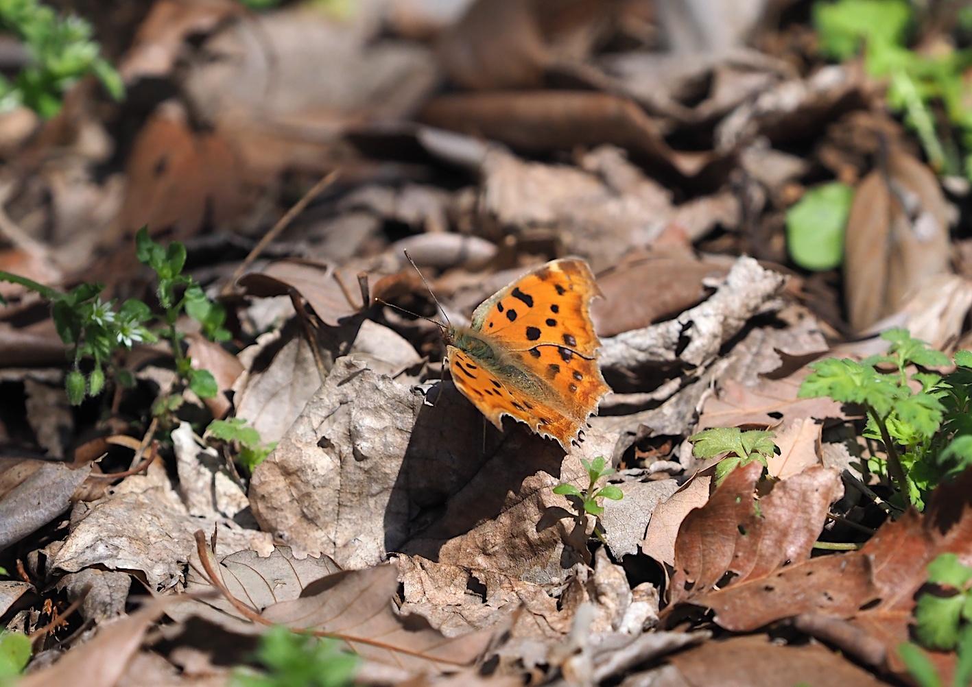 越冬明けの蝶と新生蝶(2020年3月15日)_d0303129_03102237.jpg