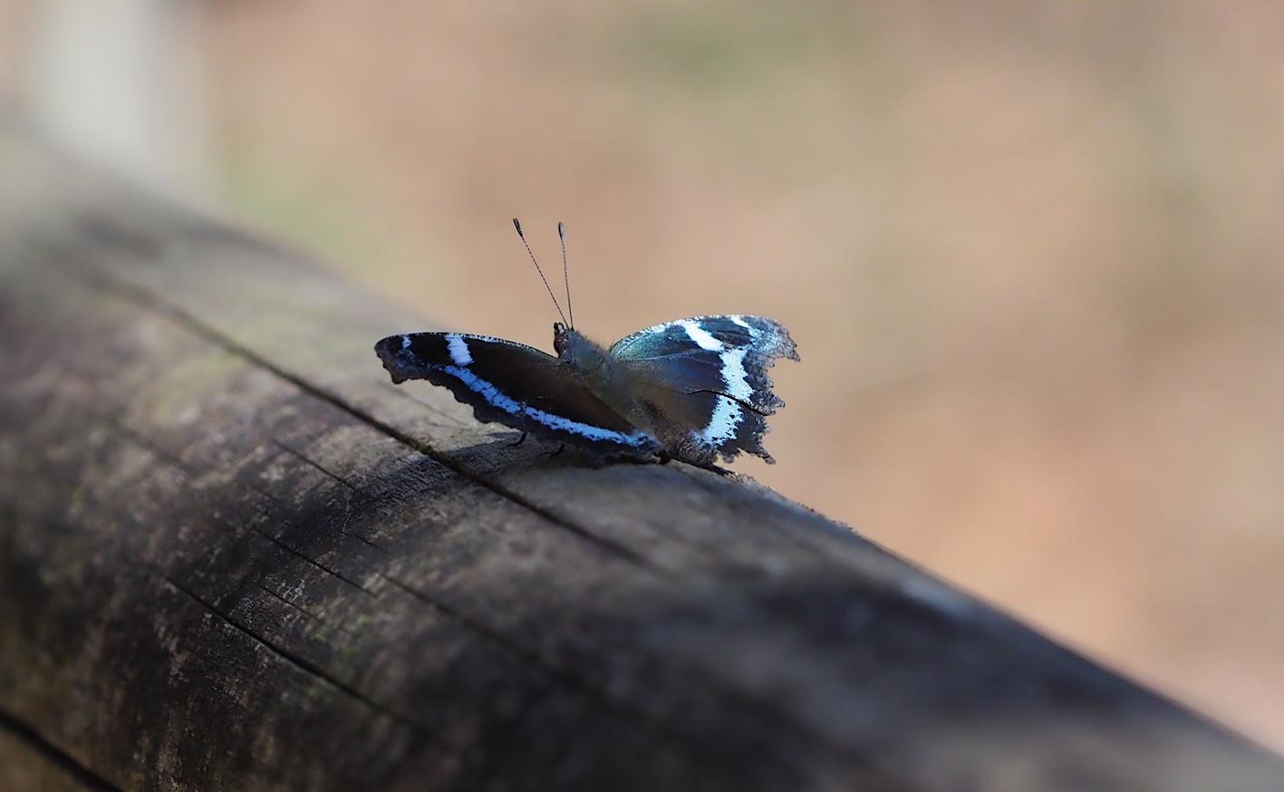 越冬明けの蝶と新生蝶(2020年3月15日)_d0303129_03102648.jpg