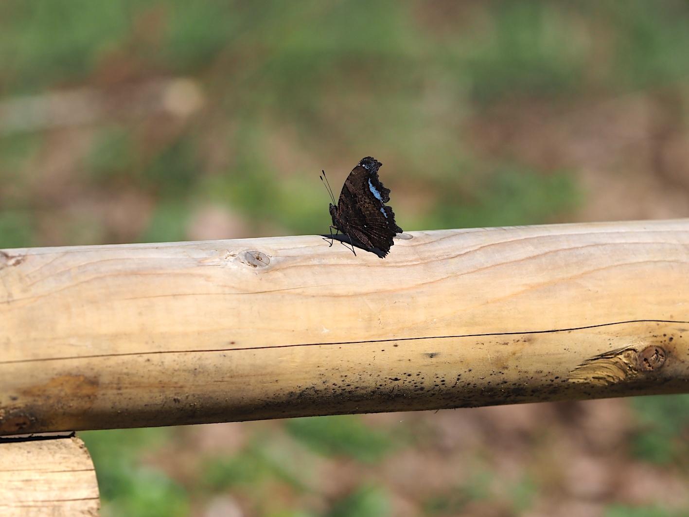 越冬明けの蝶と新生蝶(2020年3月15日)_d0303129_03102989.jpg