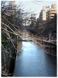 3月18日 今日の目黒川の桜_d0221430_20561013.jpg