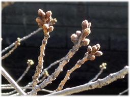 3月18日 今日の目黒川の桜_d0221430_20562808.jpg
