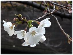 3月18日 今日の目黒川の桜_d0221430_20570147.jpg