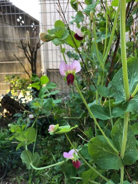 えんどう豆の花、咲きました!_c0229032_16000065.jpeg