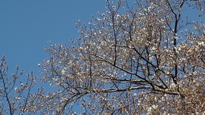 桜はまだか・・_a0123836_16055600.jpg
