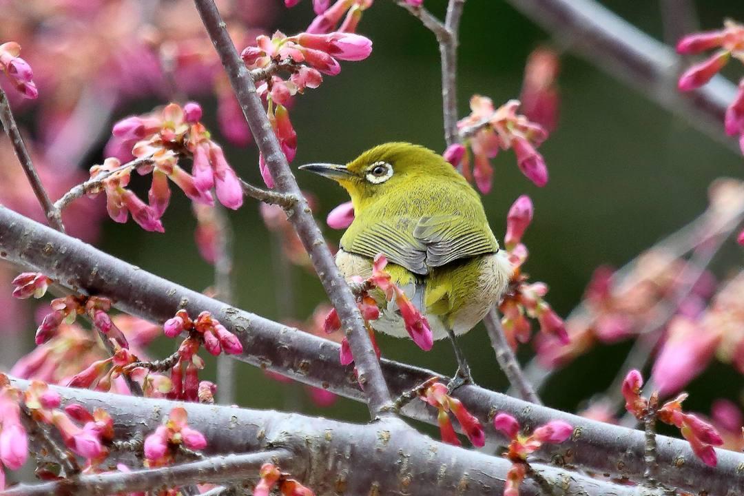 桜にメジロ_e0403850_20205402.jpg