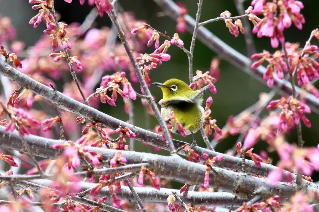 桜にメジロ_e0403850_20205953.jpg