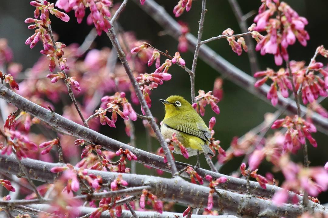 桜にメジロ_e0403850_20211367.jpg
