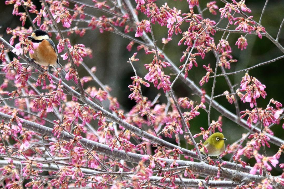 桜にメジロ_e0403850_20211784.jpg
