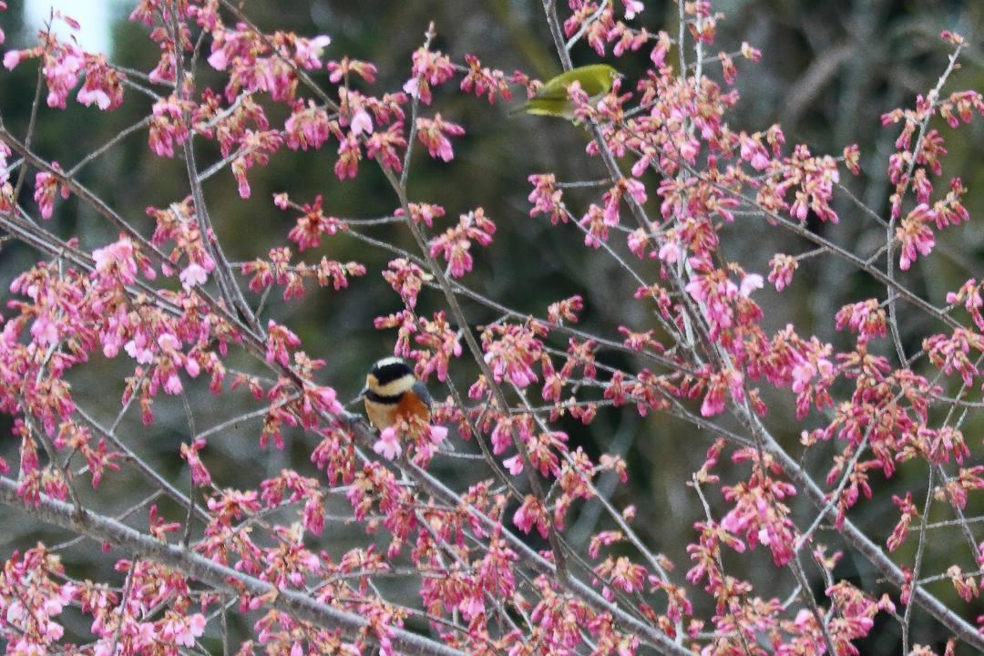 桜にメジロ_e0403850_20212459.jpg