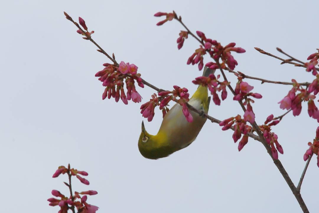 桜にメジロ_e0403850_20213317.jpg
