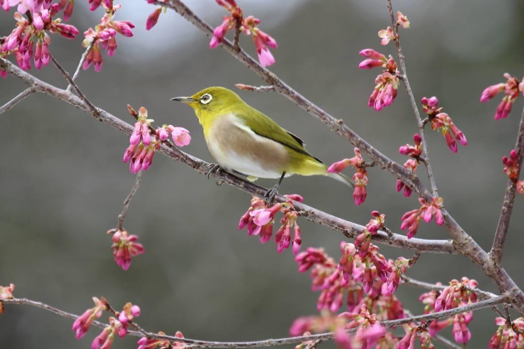 桜にメジロ_e0403850_20213732.jpg