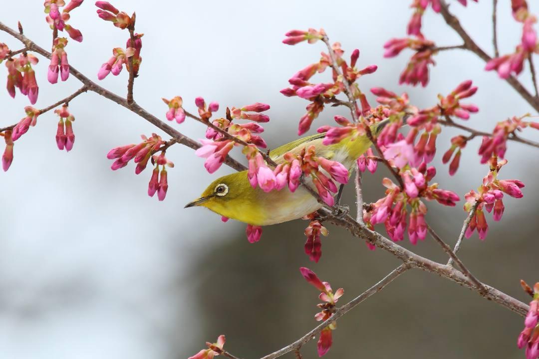 桜にメジロ_e0403850_20214188.jpg
