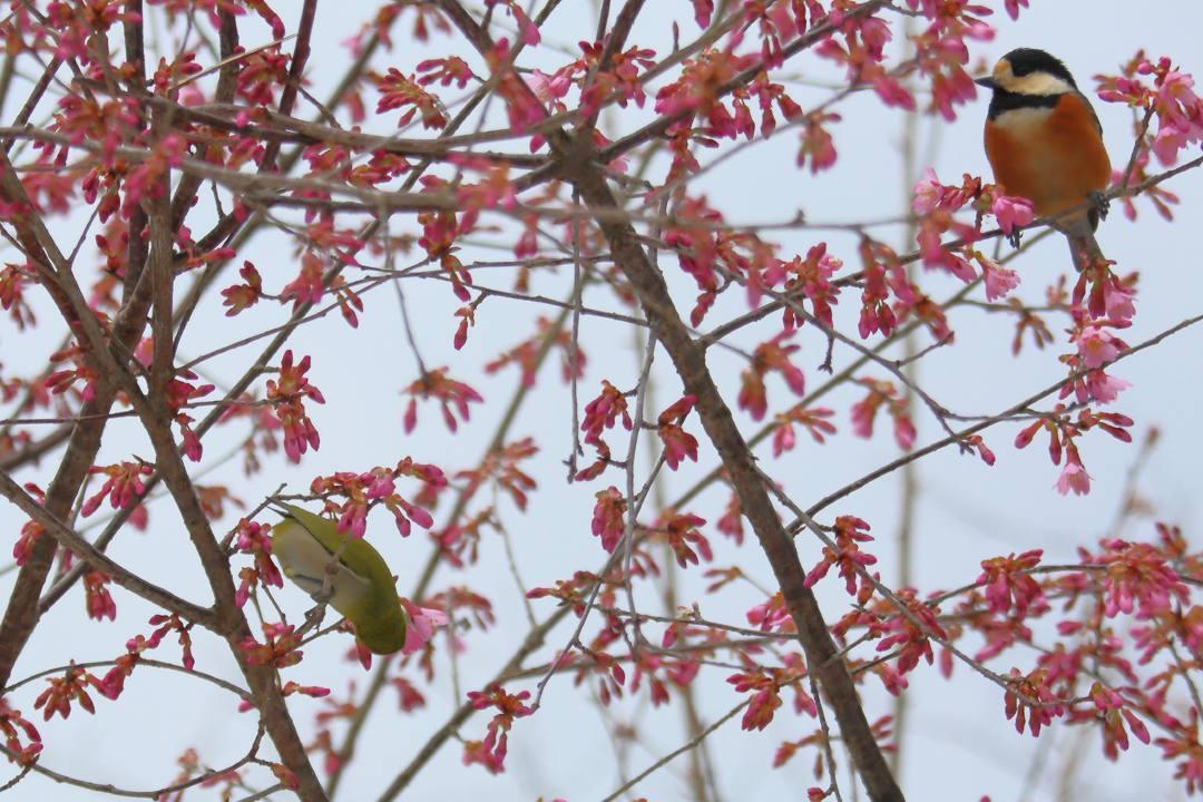 桜にメジロ_e0403850_20214882.jpg