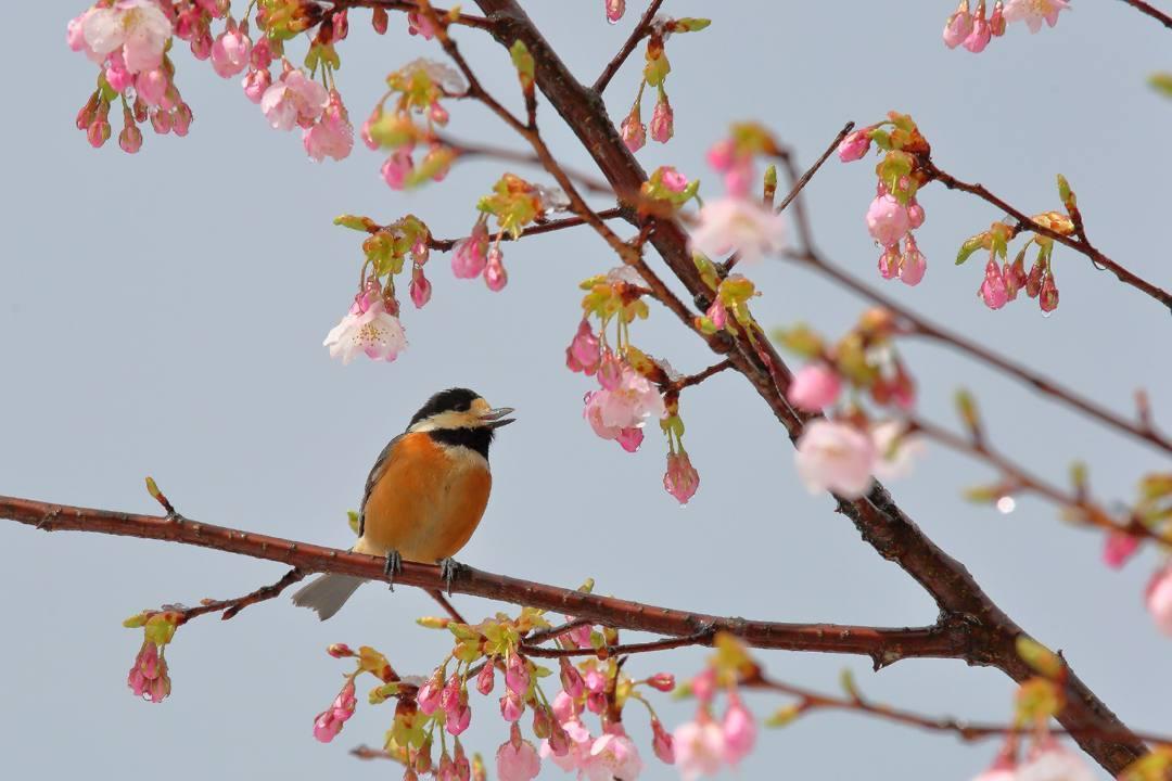 桜にメジロ_e0403850_21541750.jpg