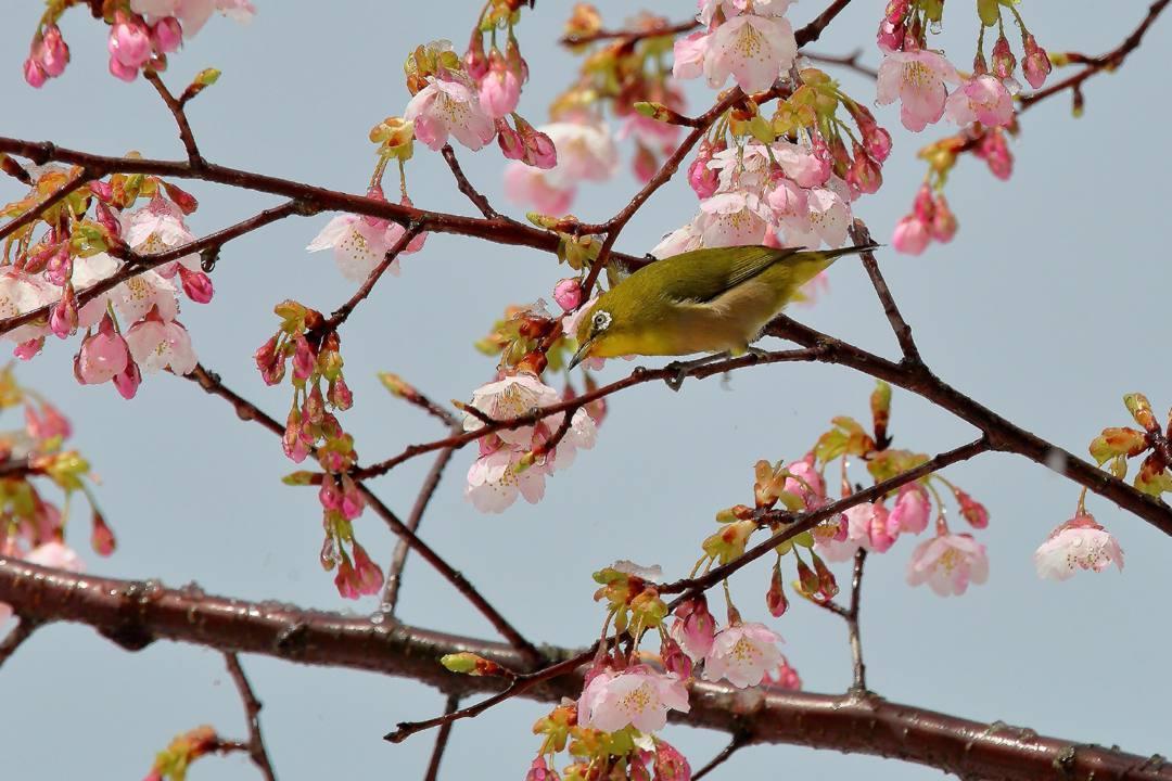 桜にメジロ_e0403850_21542266.jpg