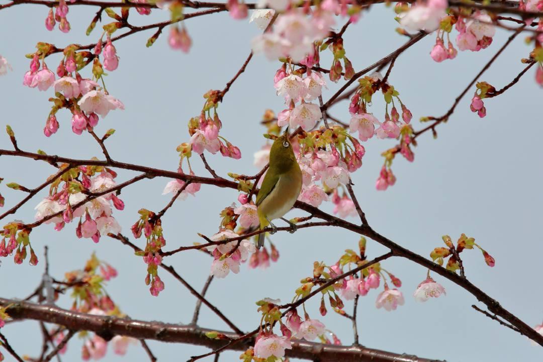 桜にメジロ_e0403850_21542769.jpg