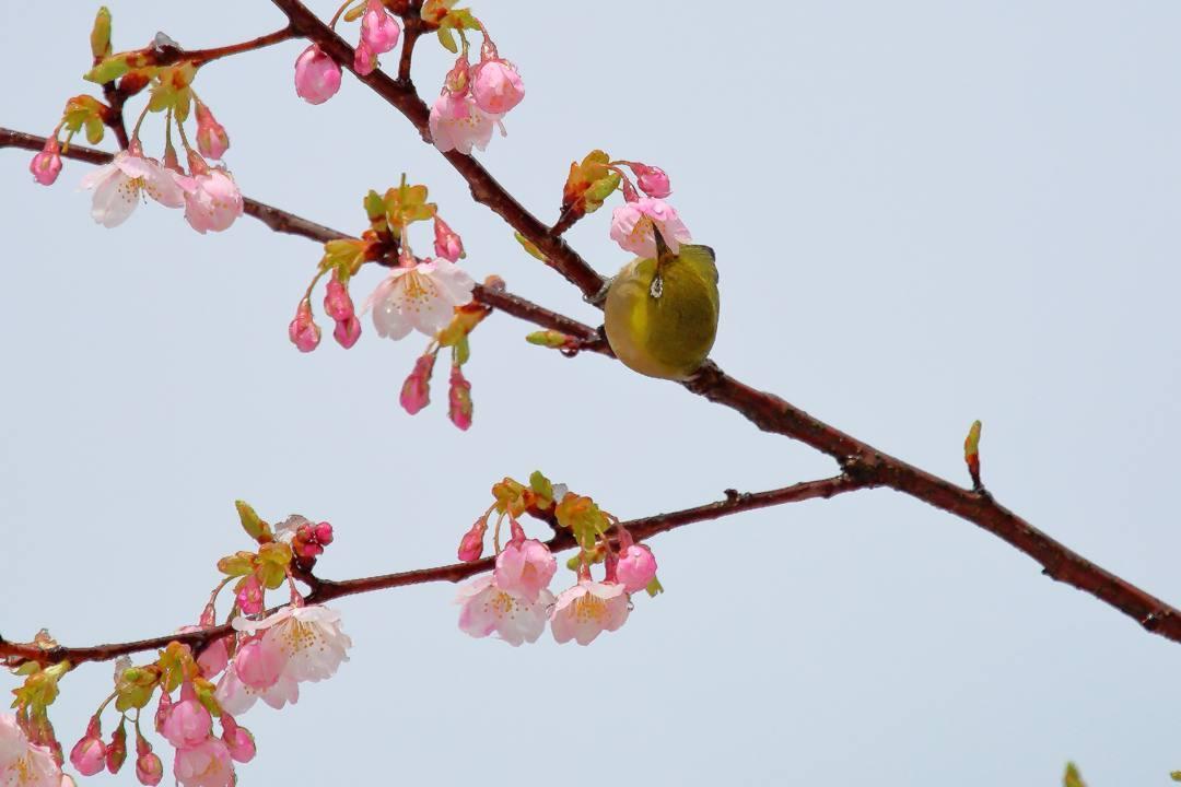 桜にメジロ_e0403850_21543011.jpg