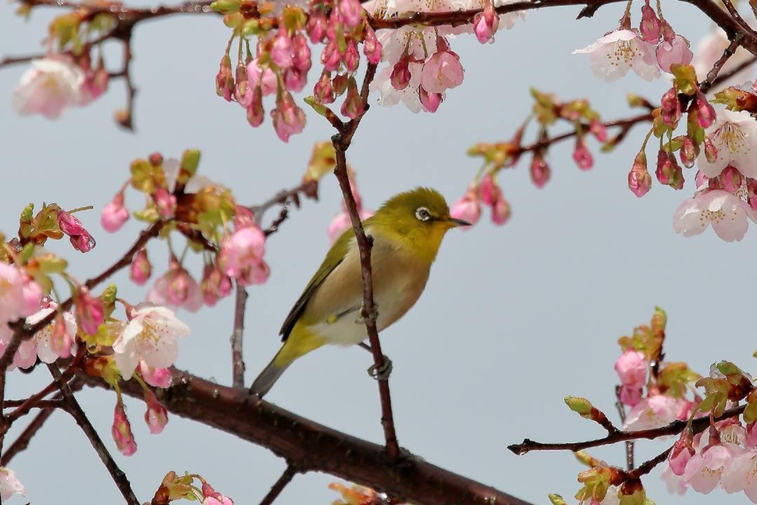 桜にメジロ_e0403850_21543404.jpg