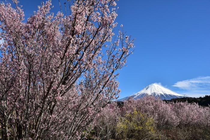 芝川の桜_a0307264_10484385.jpg