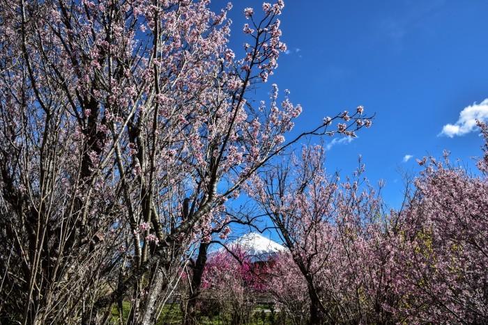 芝川の桜_a0307264_10551050.jpg