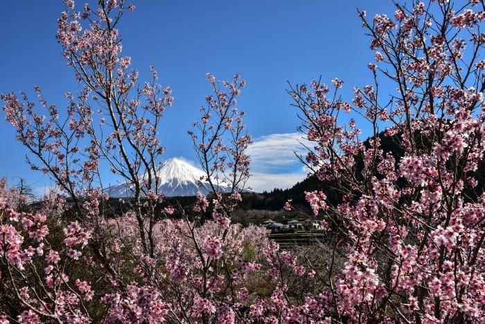 芝川の桜_a0307264_11032796.jpg