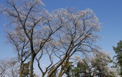 夫桜はほぼ満開、妻桜が開花3・18六国見山夫婦桜now_c0014967_17132321.jpg