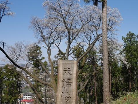 夫桜はほぼ満開、妻桜が開花3・18六国見山夫婦桜now_c0014967_17140053.jpg
