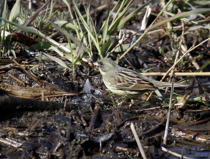 MFでの探鳥で出会えた鳥たち_f0239515_1659882.jpg