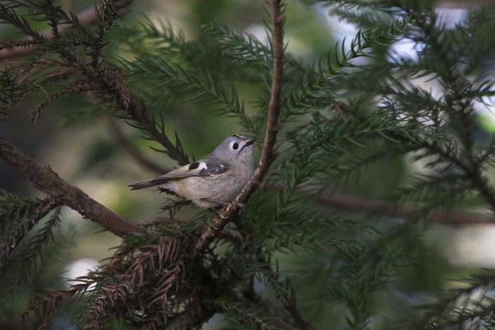MFでの探鳥で出会えた鳥たち_f0239515_1735268.jpg