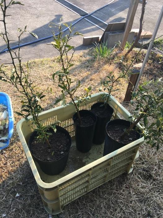 柚子の植樹_e0155231_01551467.jpeg