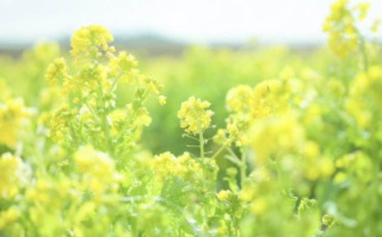 春はデトックスの季節・菜の花毒出し・サララ 空き状況_f0140145_21480608.jpg