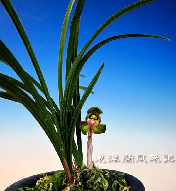 中春「天香荷」                       No.2016_d0103457_22451353.jpg