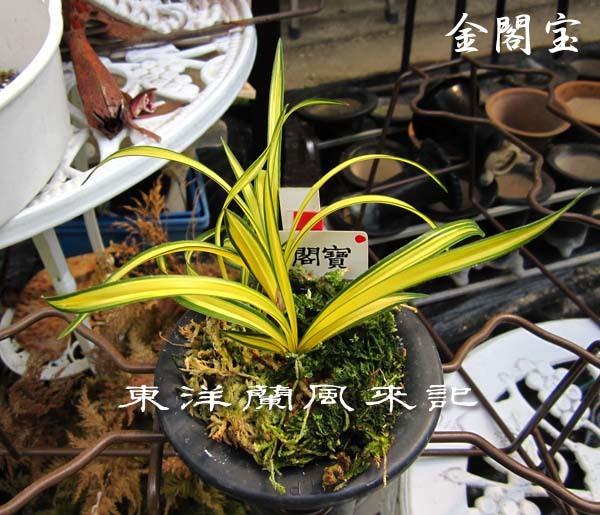 中春「天香荷」                       No.2016_d0103457_22455840.jpg