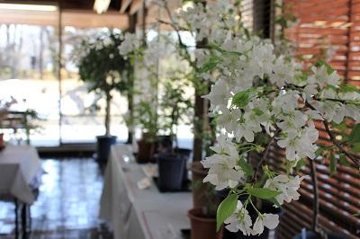 桜の花展@緑の相談所_2020.03.19_d0131668_17193644.jpg