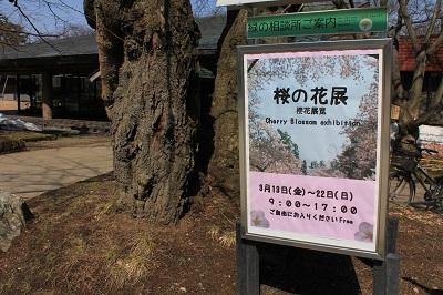 桜の花展@緑の相談所_2020.03.19_d0131668_17195637.jpg