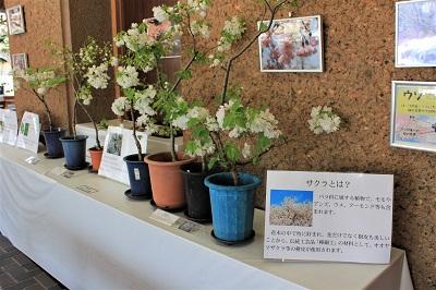 桜の花展@緑の相談所_2020.03.19_d0131668_17202034.jpg