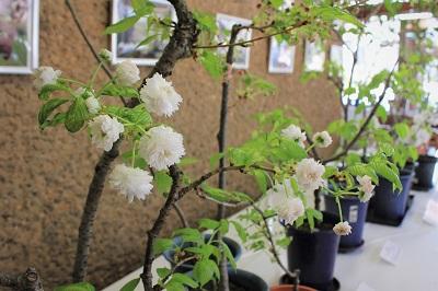 桜の花展@緑の相談所_2020.03.19_d0131668_17205486.jpg