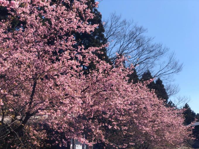 河津桜の季節_d0182179_11383269.jpg