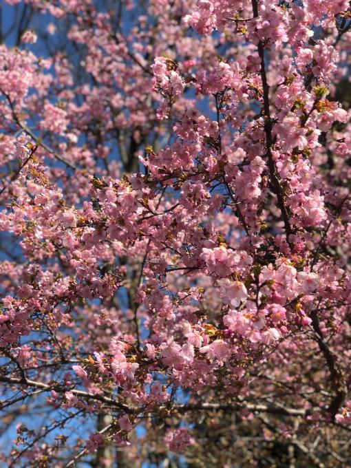 河津桜の季節_d0182179_11384012.jpg